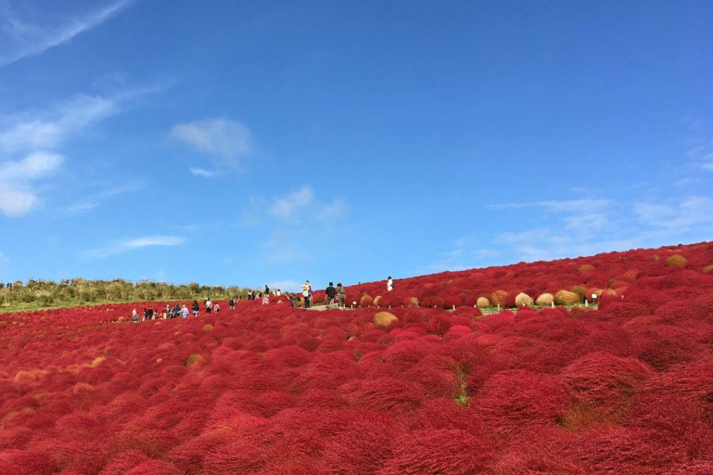 Hitachi Seaside Park blog by Trisha Paredes